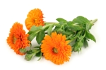 Marigolds3Orange