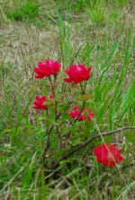 RedFlowers