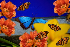 bluebutterfly2-19-edit-4