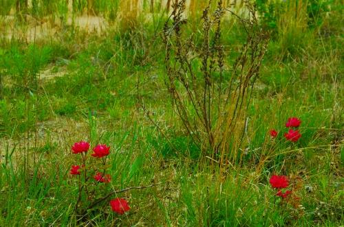 redflowers2